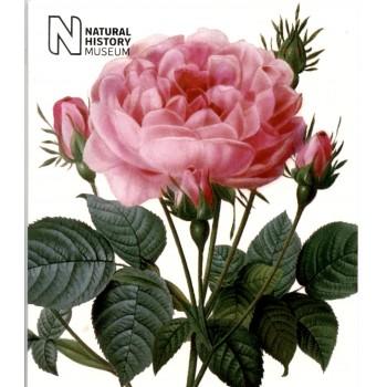 NHM 02 ROSA CENTAFOLIA
